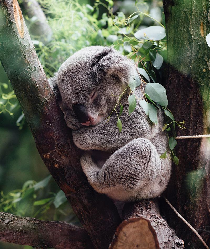 Koala durmiendo. Fotografía de Jordan Whitt. Unsplash